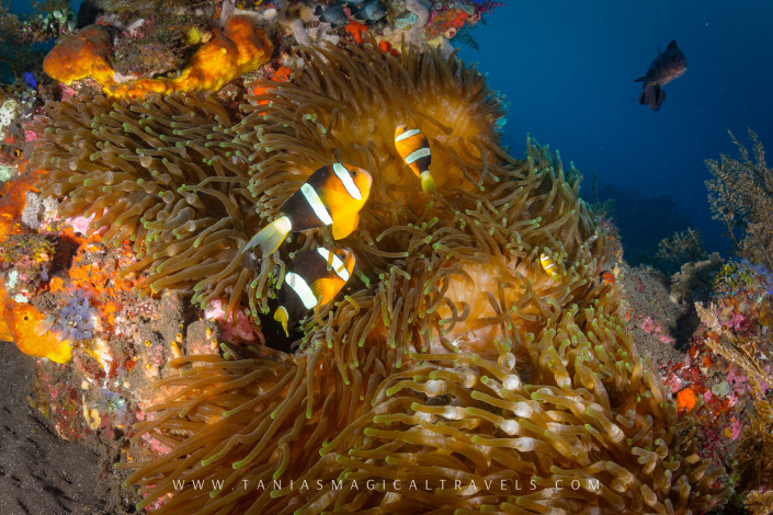Underwater Photo | Clark's Anemonefish at USS Liberty Wreck, Amed - Bali, March 2015