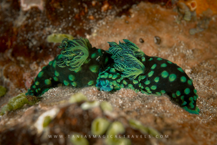 Underwater Photo | Nembrotha Cristata Sea Slug, Sumba, November 2014