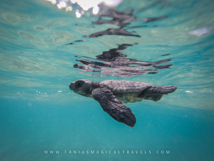 Underwater Photo | Baby turtle being released, Nihiwatu Resort, April 2015