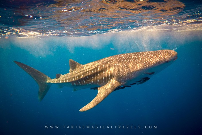 Underwater Photo | Whale Shark in the FAD, Sumba, March 2015